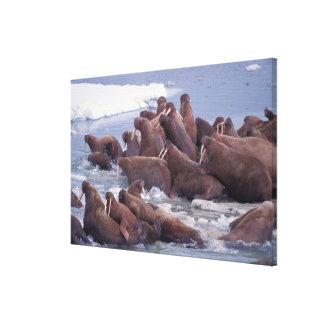 walrus, Odobenus rosmarus, on the pack ice of Canvas Print