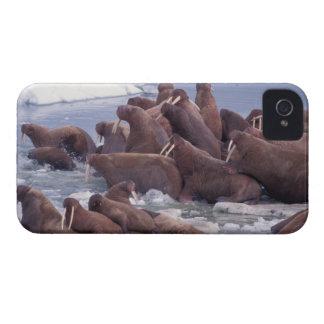 walrus, Odobenus rosmarus, on the pack ice of iPhone 4 Cover