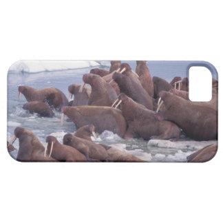 walrus, Odobenus rosmarus, on the pack ice of iPhone 5 Covers
