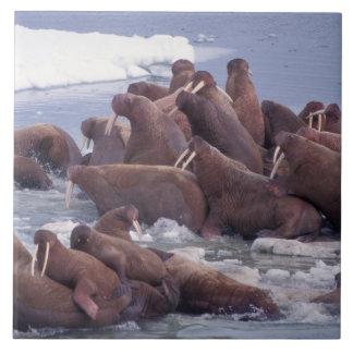 walrus, Odobenus rosmarus, on the pack ice of Ceramic Tile