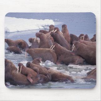 walrus, Odobenus rosmarus, on the pack ice of Mouse Pad