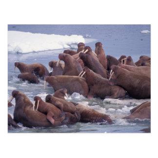 walrus, Odobenus rosmarus, on the pack ice of Postcard