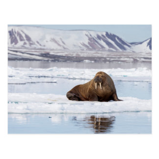 Walrus on a Piece of Ice Flow Postcard