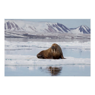 Walrus on a Piece of Ice Flow Poster