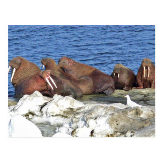 Walrus on Bering Sea Ice Postcard