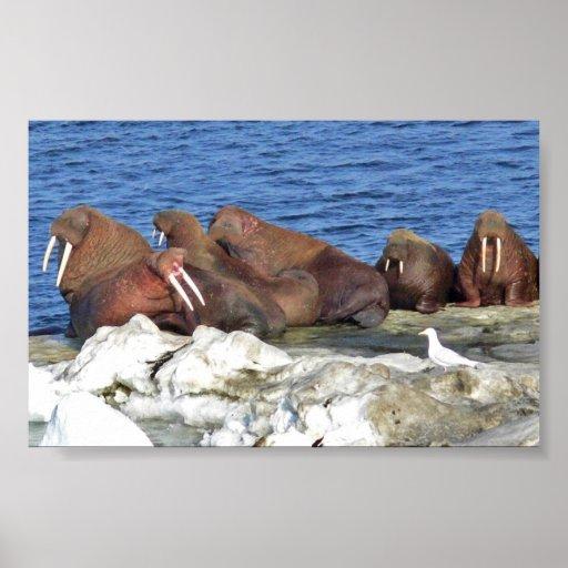 Walrus on Bering Sea Ice Poster