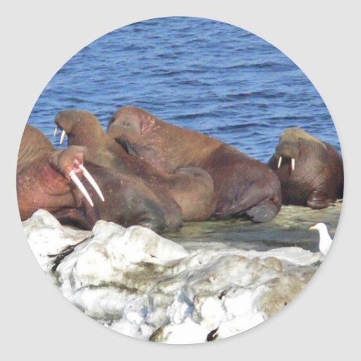 Walrus on Bering Sea Ice Stickers