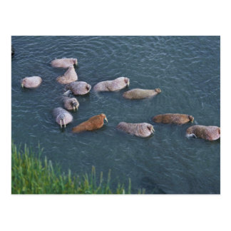 Walrus on Togiak National Wildlife Postcard