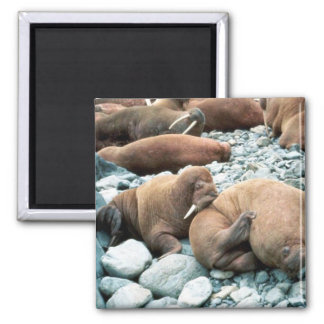 Walrus Pair 2 Inch Square Magnet