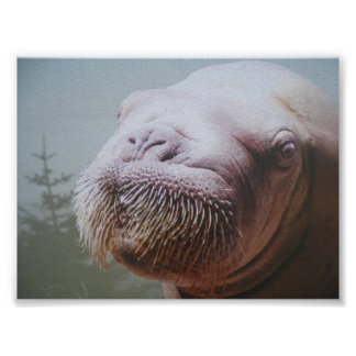 Walrus Photo Poster