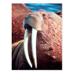 Walrus Post Cards
