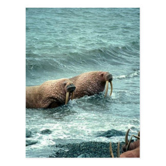 Walrus Postcard