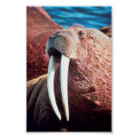 Walrus Posters