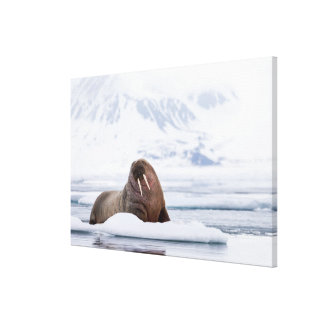 Walrus resting on Ice Flows Canvas Print