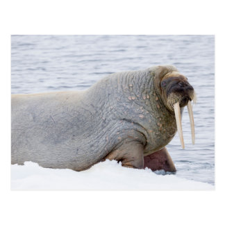 Walrus Resting on Pack Ice Postcard