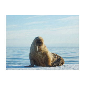 Walrus rests on summer sea ice canvas prints