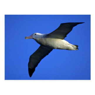 Wandering Albatross In Flight Postcard