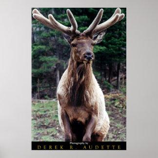 Wapiti (Elk) Bull in Velvet Print