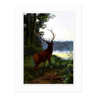 Wapiti, or Elk Postcard