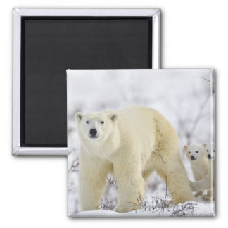 Wapusk National Park, Canada. 2 Inch Square Magnet