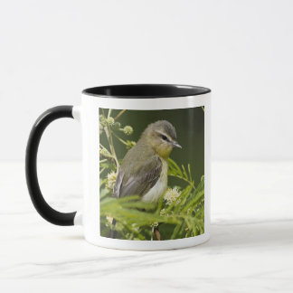 Warbling Vireo (Vireo gilvus) foraging on South Mug