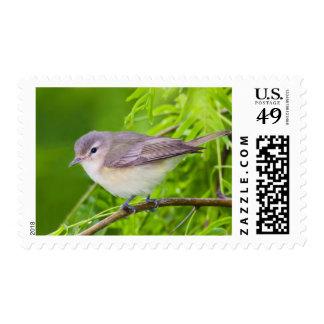 Warbling Vireo (Vireo Gilvus) Foraging Stamp
