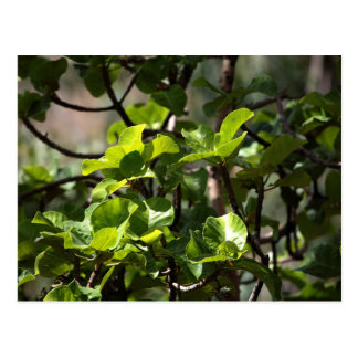 Warka Tree (Ficus vasta) Postcard