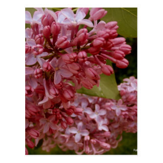 Warm Spring Lilacs Post Card