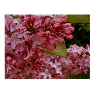 Warm Spring Lilacs Postcard