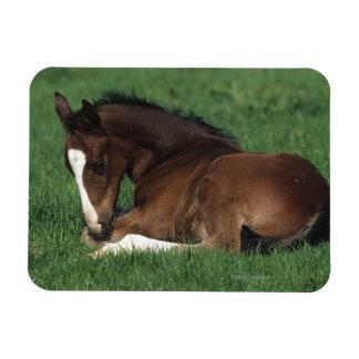 Warmblood Foal Laying Down Magnet
