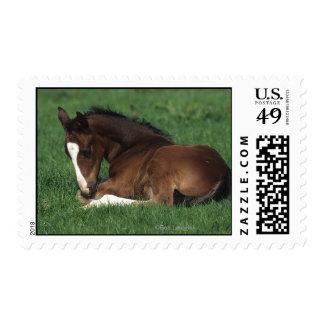 Warmblood Foal Laying Down Postage