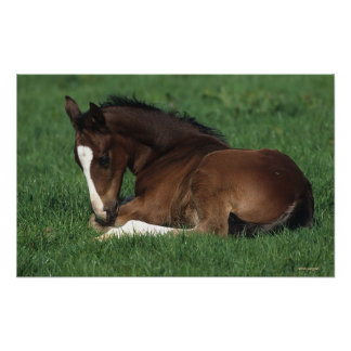 Warmblood Foal Laying Down Poster