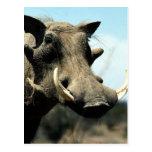Warthog Close-Up Postcard