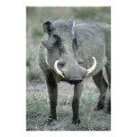 Warthog Phacochoerus africanus) Masai Mara Photo