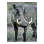 Warthog Phacochoerus africanus) Masai Mara Post Card