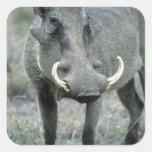Warthog Phacochoerus africanus) Masai Mara Sticker