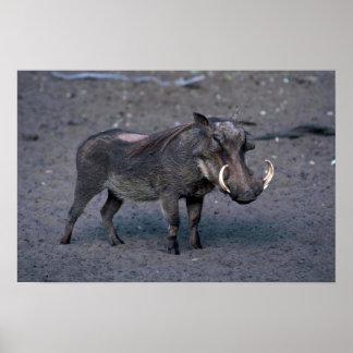 Warthog - verraco grande póster