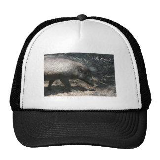 Warthog walking by palmetto trucker hat