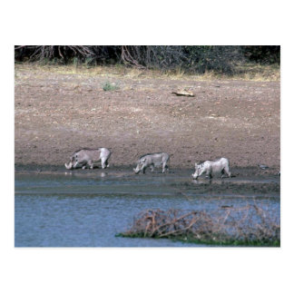 Warthogs Postales