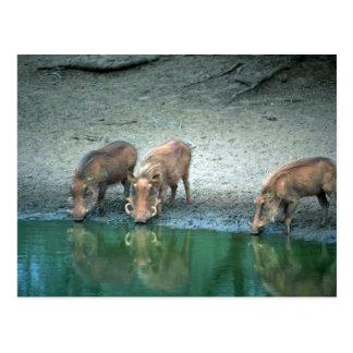 Warthogs Post Card