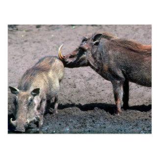 Warthogs - verraco (derecho) y cerda (izquierda) tarjetas postales