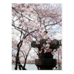Washington DC de la flor de cerezo Postales
