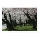 Washington DC de la flor de cerezo Tarjetas Postales