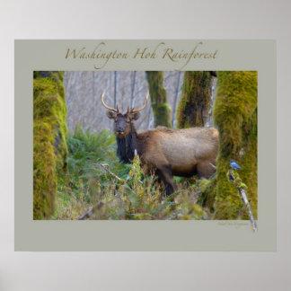 Washington Hoh Rainforest - Roosevelt Elk Poster