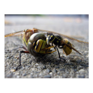 Wasp eating Dragonfly Postcard