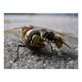 Wasp eating Dragonfly Poster