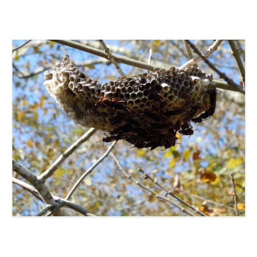 Wasp Nest! Yikes! Post Cards