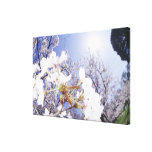 Wasp on Cherry Blossom, close up Canvas Print