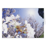 Wasp on Cherry Blossom, close up Card