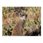 Watchful meerkat postcard
